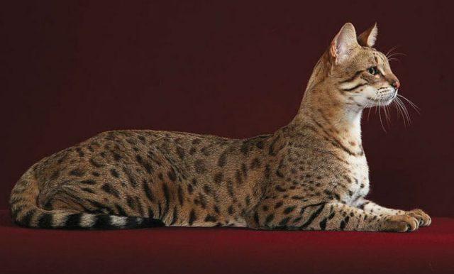 Кошка ашера - главное фото