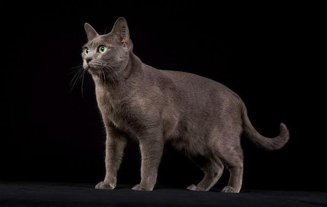 Кошка корат - главное фото