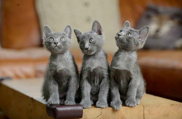 Три котенка породы корат