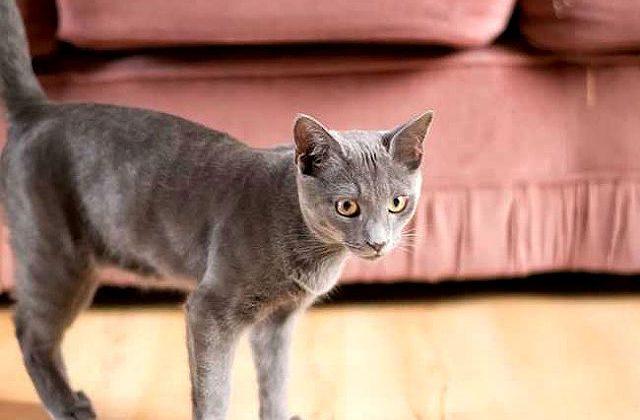 Кошка корат у дивана