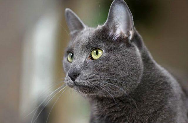 Кошка корат - мордочка