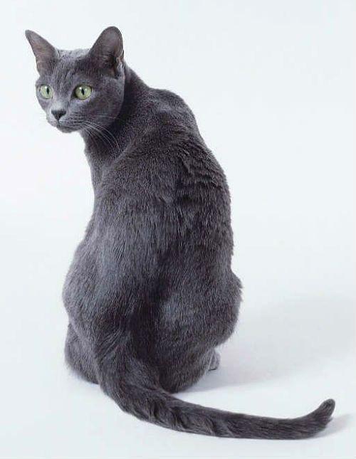 Кошка корат - вид сзади