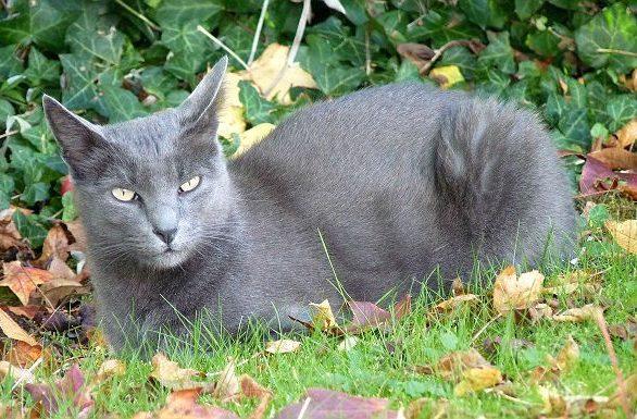 Кошка корат лежит на траве