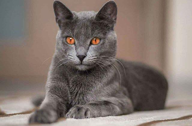 Кошка корат - вид спереди