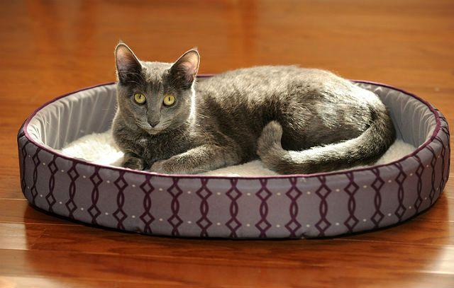 Кошка корат на лежанке