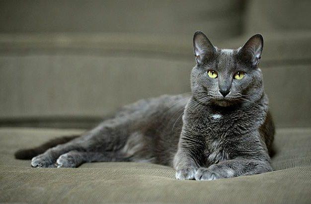 Кошка корат - красавица