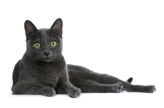 Короткошерстная порода - кошка корат