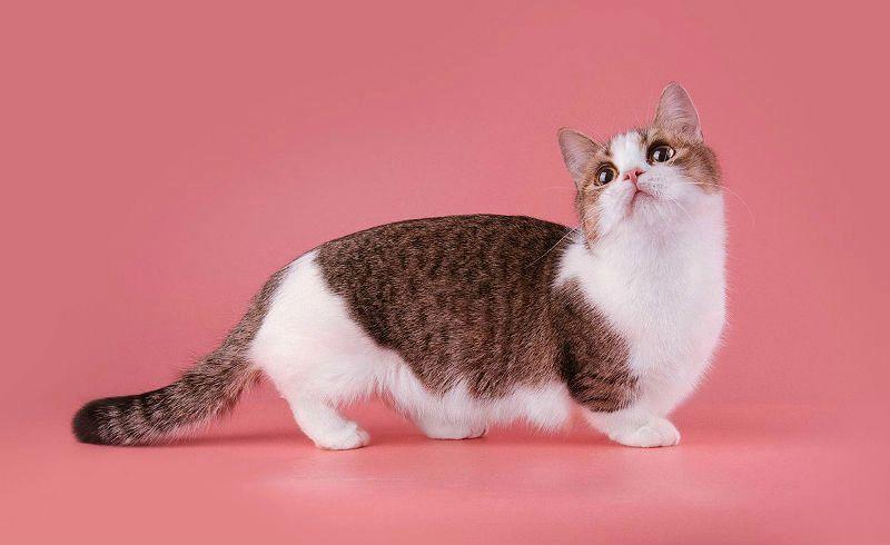 Кошка манчкин - главное фото