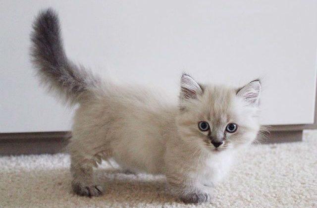Котенок манчкин светлого окраса