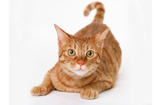 Кошка манчкин рыжая