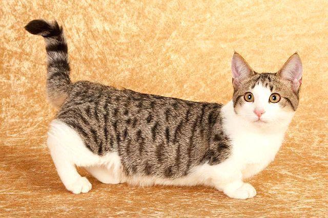 Манчкин - порода кошки