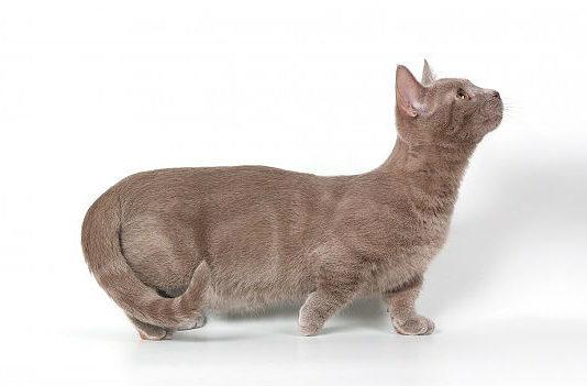 Кошка манчкин - вид сбоку