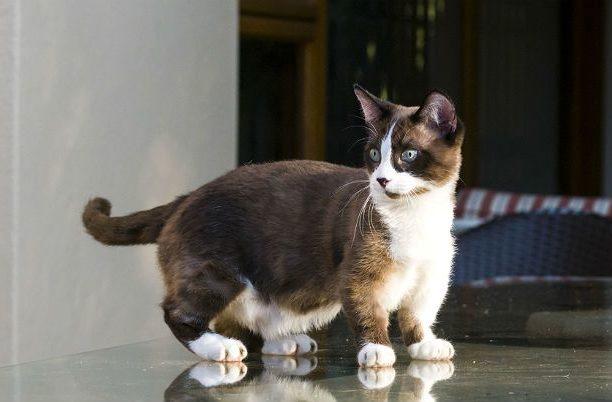 Кошка манчкин колор-поинт