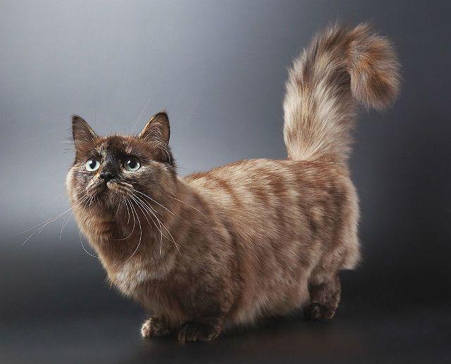 Кошка породы манчкин
