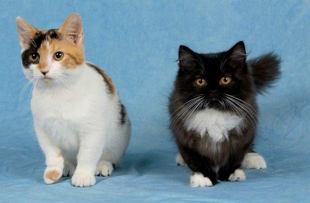 Котики породы манчкин