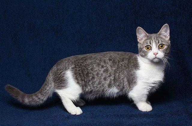 Кошка манчкин серая