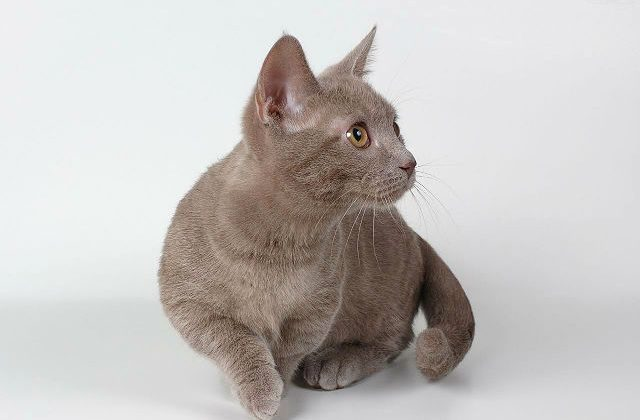 Кошка манчкин дымчатая