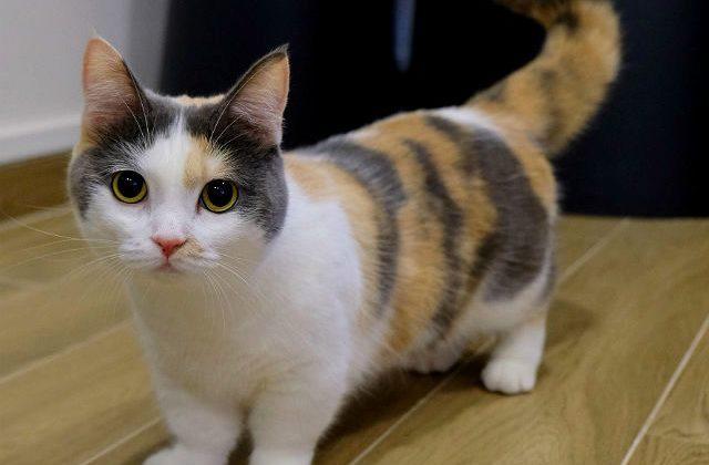 Кошка манчкин трехцветная