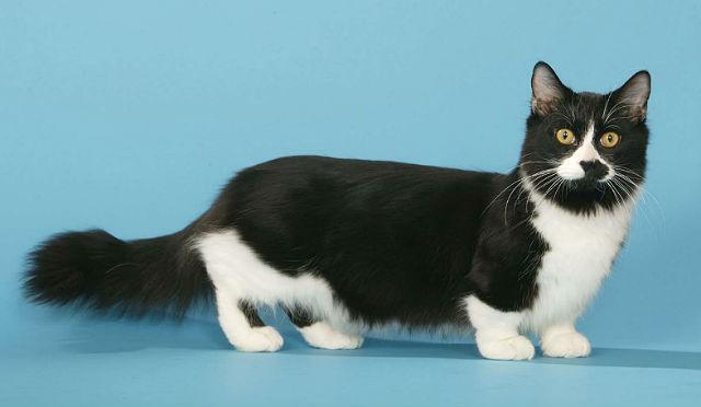 Кошка манчкин черно-белого окраса шерсти
