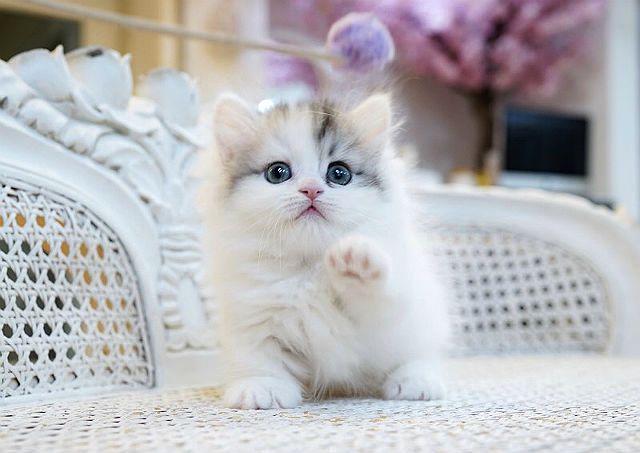 Манчкин - котенок