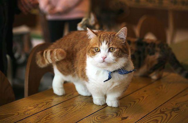 Кошка манчкин на столе