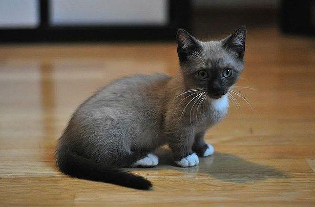Котенок манчкин сиамского окраса