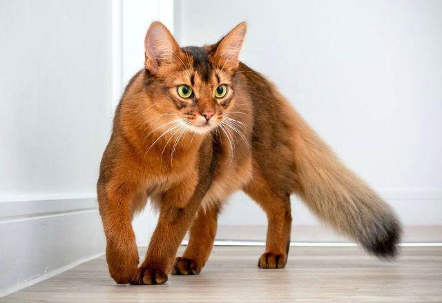 Кошка с большими ушами - сомали