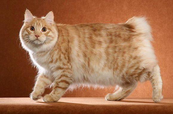 Бесхвостая кошка - курильский бобтейл