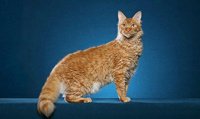 Кудрявая кошка - лаперм