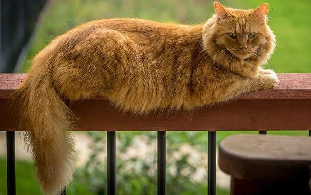 Кот мейн-кун рыжего окраса