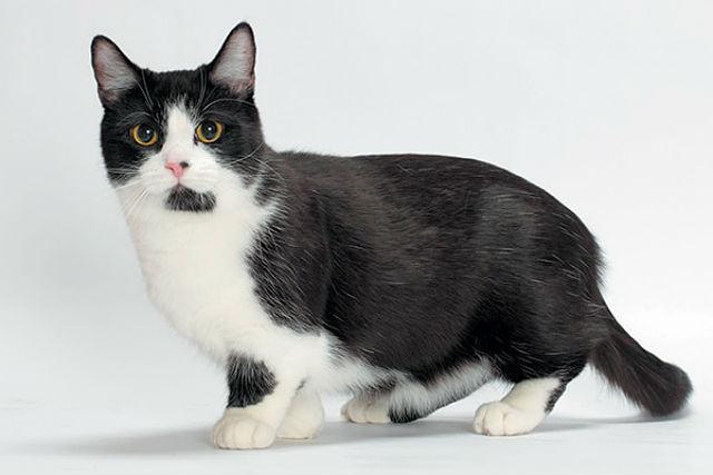 Кошка Манчкин черно-белая