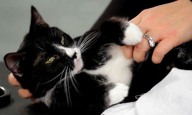 Польза массажа живота для кошки