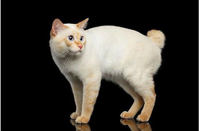 Кошка без хвоста - Меконгский бобтейл