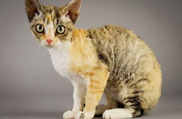 Кудрявая порода кошек - Немецкий рекс