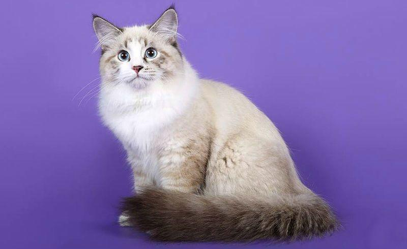 Невская маскарадная кошка - главное фото