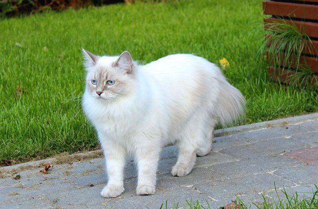Невская маскарадная кошка - белая
