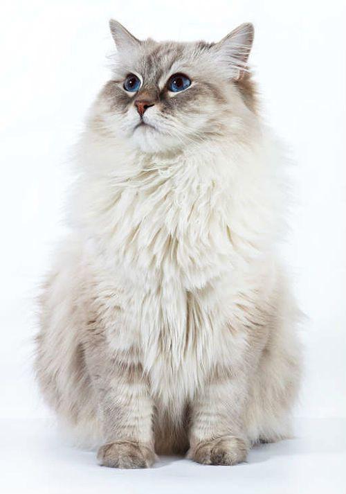 Невская маскарадная кошка - голубоглазая