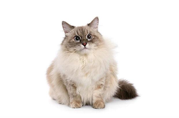 Невская маскарадная кошка - длинношерстная порода