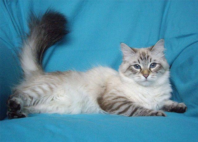 Невская маскарадная кошка на синем фоне