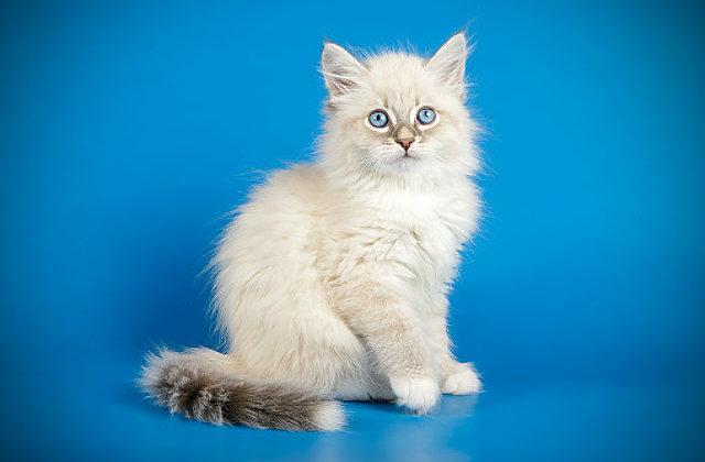 Белая Невская маскарадная кошка с серым хвостиком