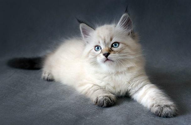Котенок попроды Невская маскарадная кошка
