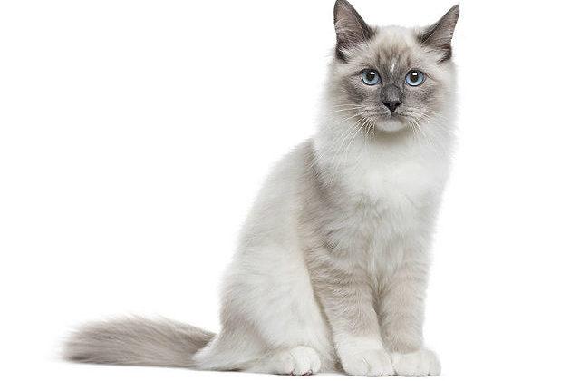 Котенок - Невская маскарадная