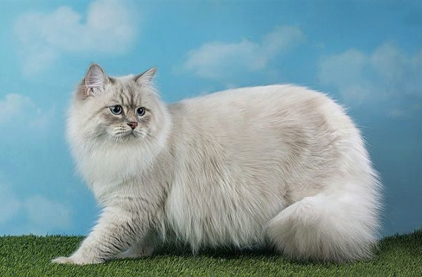 Невская маскарадная кошка - вид сбоку