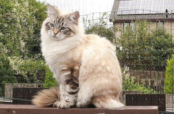 Невская маскарадная кошка на улице