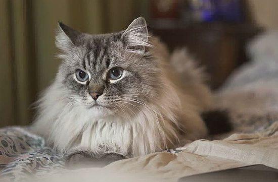 Серая Невская маскарадная кошка