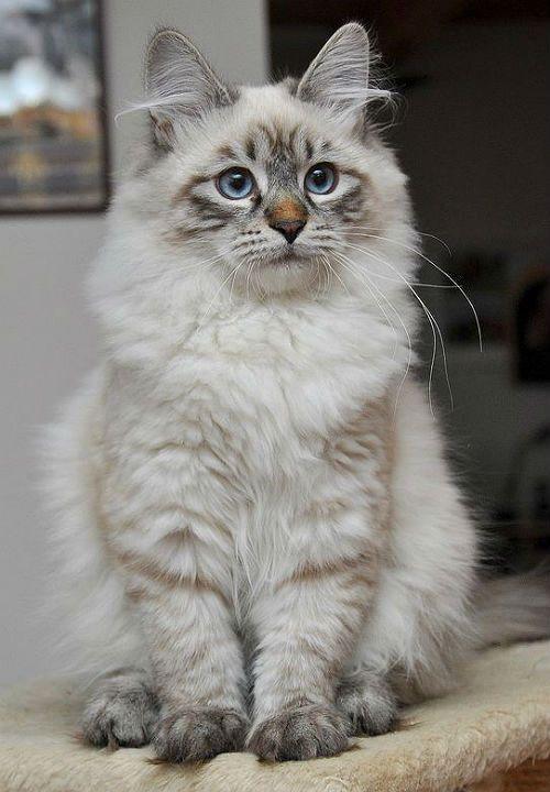 Невская маскарадная кошка - котенок