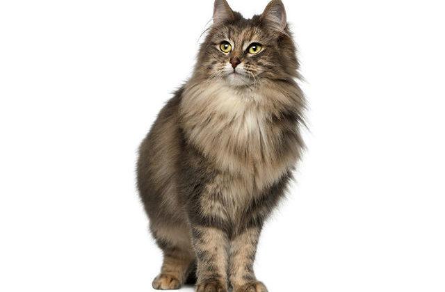 Кошка похожая на рысь - норвежская лесная