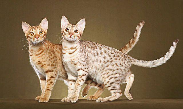Короткошерстная порода кошек - оцикет