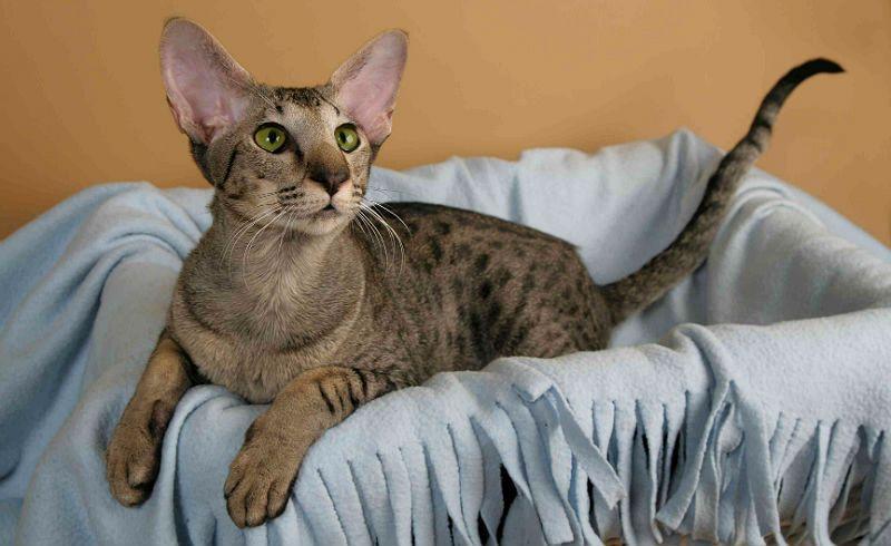 Ориентальная кошка - главное фото