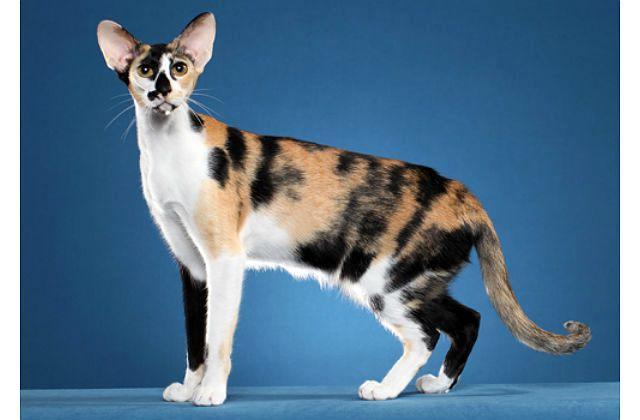 Ориентальная кошка трехцветная